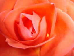 Webinar: Webinar Reihe: Die Rose duftet noch... Satsang und Heilkreis für Frauen mit Nabhya
