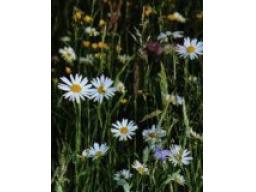 Webinar: Bachblüten, die Helfer in der Not