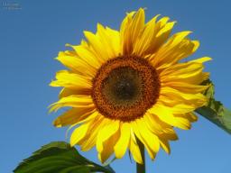 Webinar: Die Sonnenblume  und Ihre Aura