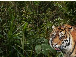 Webinar: Die Kraft des Tigers