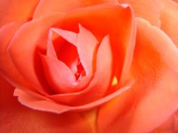 """Webinar: Satsang und Heilkreis für Frauen mit Nabhya """"Die Rose duftet """": Lust und Leidenschaft"""