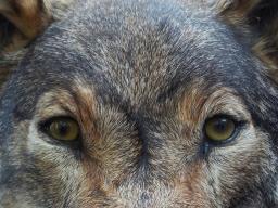 Webinar: Schamanische Krafttierreise zur Selbstfindung / der Wolf