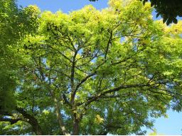 Webinar: Das keltische Baumhoroskop-März