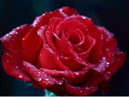 Webinar: Das Orakel der Rosenengel mit Energieübertragung