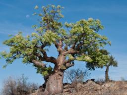 Webinar: Pflanzen - Informationen auf der stofflichen und feinstofflichen Ebene - der Moringabaum