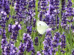 Webinar: Devas, Blüten und das Schöpfungsfeld