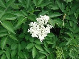 Webinar: Pflanzen - Informationen auf der stofflichen und feinstofflichen Ebene - HOLUNDER