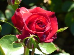 Webinar: Venus und Mars - keine Rose ohne Dornen