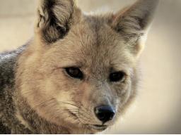 Webinar: Schamanische Reise zum Fuchs - entdecke deine eigene Wildheit!