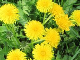 Webinar: Energetische Kur mit Pflanzendeva Löwenzahn