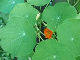 Webinar: Pflanzen - Informationen auf der stofflichen und feinstofflichen Ebene - die KAPUZINERKRESSE