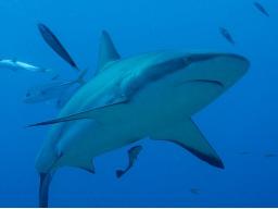 Webinar: Kleiner Krafttier-Kurs: der Hai