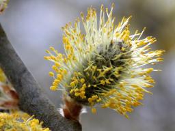 Webinar: Das keltische Baumhoroskop-April