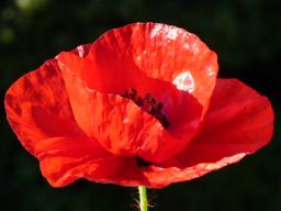 Webinar: Blüten - Devas und unser Schöpfungsfeld