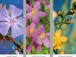 Webinar: Aktiviere deine Selbstheilungskräfte mit Bachblüten