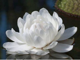 Webinar: Lotusmeditation  -  Heilenergieübertragung