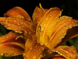 Webinar: Das Lilienwasser - Die Lilie der Erneuerung