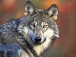 Webinar: Wolf und Thor - Abgrenzung, Authentizität und Kraft