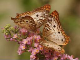 Webinar: Fantasiereise Krafttier Schmetterling