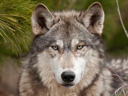 Webinar: Fantasiereise Krafttier Wolf